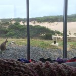 wallaby outside bedroom