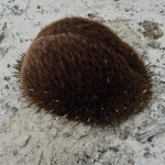 bum shaped echidna