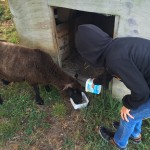 feeding the oldest sheep in NZ!